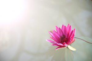 lotus-1839558_1920